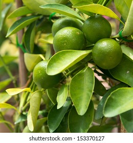 Fruits of lime on tree branch inter leaves