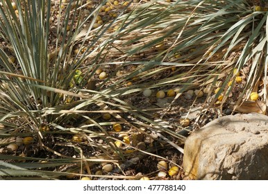 Fruits of Marula tree on the ground, selective focus