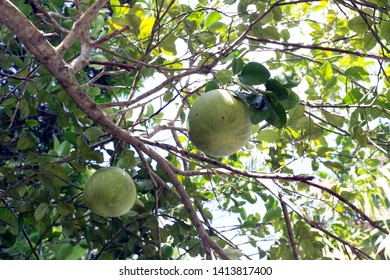 Fruits on a pomelo tree in Seychelles