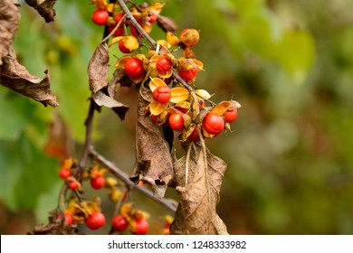 Fruits of Oriental staff vine (Celastrus orbiculatus) in japanese autumn