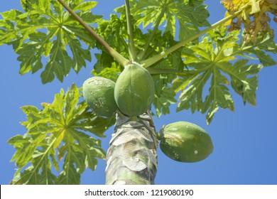 Fruits Papaya, Papaw or Pawpaw, Carica papaya growing on a tree on blue sky background