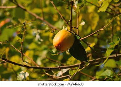 "Fruits of Persimmon - Diospyros kaki. It is called ""Kaki"" in Japan."