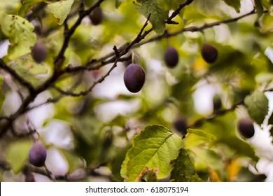 fruits | plum