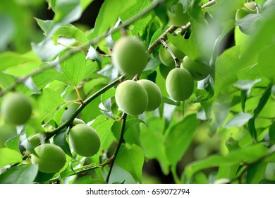 """Fruits of the plum - Japanese apricot. It is called """"Ume"""" in Japan."""