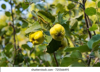 Fruits of quince growing on a branch in the garden