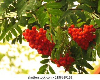 fruits of rowan, Sorbus aucuparia,