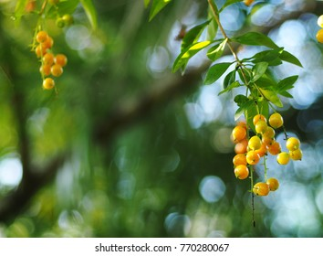 fruits, seeds of the Sky flower, Golden dew drop, Pigeon berry, Duranta, tropical decorative plant with beautiful flower and small golden yellow fruits selective focus blur natural outdoor background