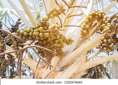 fruits of silver saw palmetto the popular ornamental plant in asia