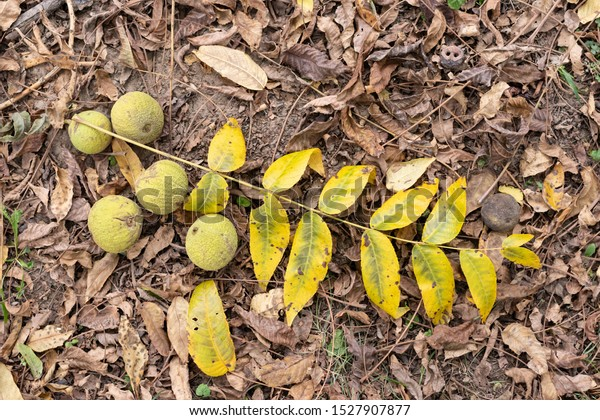 fruits-tree-black-walnut-juglans-600w-15