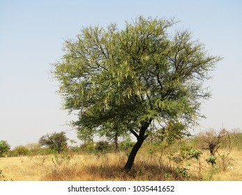 Fruits and tree of a Prickly acacia scientifically Acacia victoriae commonly known as gundabluie or bardi bush