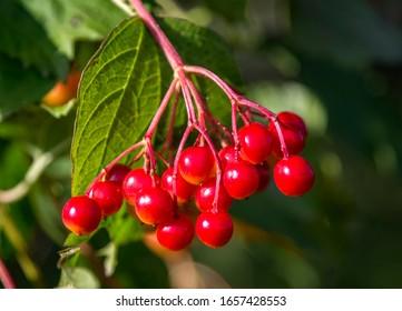 frutta di garcinia kolacco