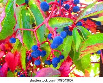 fruits of Virginia creeper, Parthenocissus quinquefolia,