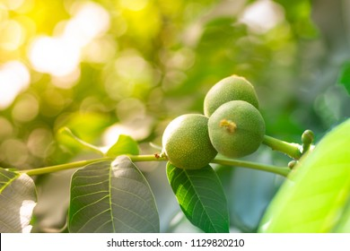 Fruits of a walnut on a branch of a tree in the yellow warm rays of the summer sun