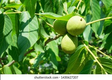 Walnut Tree Images, Stock Photos & Vectors | Shutterstock