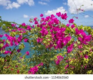 Fuchsia Bougainvillea Blossoms