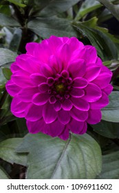 Fuchsia Colored Dahlia