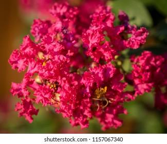 Fuchsia Crepe Myrtle