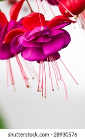 A fuchsia flower