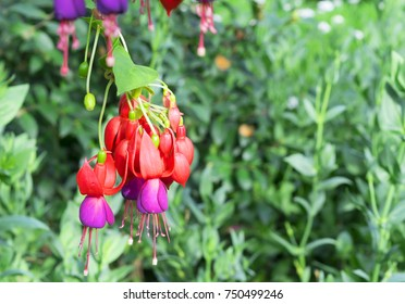fuchsia flower background, a vivid purplish-red color blooming on tree. The others name is fuchsia magellanica flower and hummingbird fuchsia, closeup