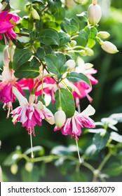 Fuchsia 'Flying Scotsman' in a garden