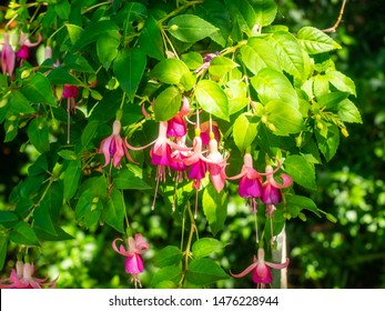 Fuchsia is a genus of flowering plants that consists mostly of shrubs or small trees.