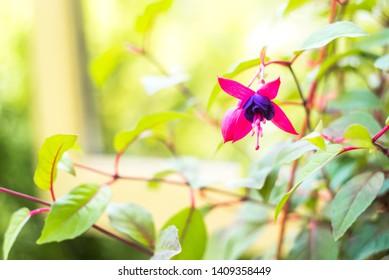 fuchsia magellanica flower, hummingbird fuchsia or hardy fuchsia, Hanging fuchsia flowers in shades of pink, purple. Soft selective focus, blurred floral photo.