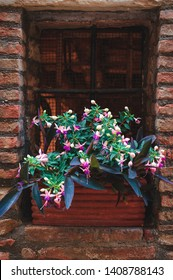 Fuchsia on the window, in a ceramic flower pot