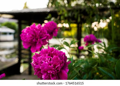 fuchsia peonies on the background of a pond and gazebo