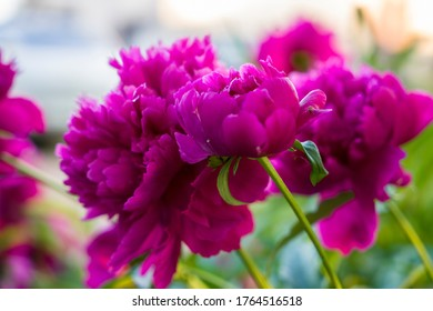 fuchsia peonies on a blue background