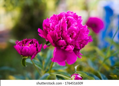 fuchsia peonies on a blue and green background