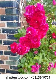 fuchsia pink rose