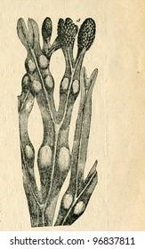 Fucus, old illustration by unknown artist from Budowa i Zycie rosliny, author Wladyslaw Kozlowski, publishing house M.Arcta, Warsaw, 1908 - Shutterstock ID 96837811
