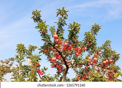 Fuji apple in the orchard