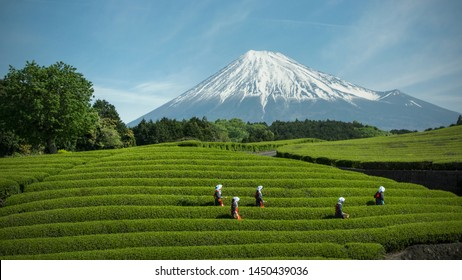 Fuji City, Province of Shizuoka, Japan. May 2, 2019 -  A day of festival in Obuchi Sasaba. Harvest of tea.