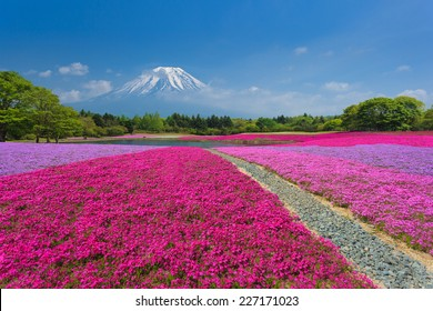 Fuji with the field of pink moss at Shibazakura festival, Yamanashi, Japan