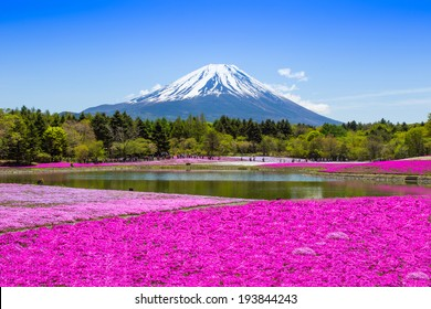Fuji mount - Holiday : Fuji mount with pink moss garden, the famous place in Japan on May 17th, 2014