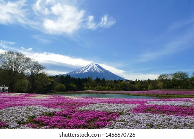 Fuji Mountain with the field of pink moss (moss phlox, moss pink, mountain phlox) in the park at Shibazakura festival