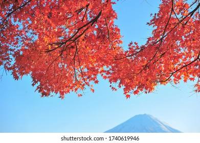 Fuji Mountain and Red Maple at Kawaguchiko During Autumn in Japan