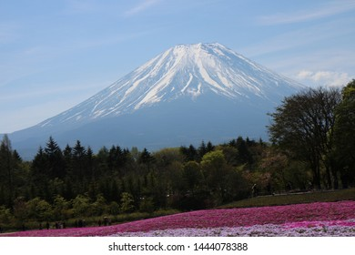fuji moutain with the row of tree and flower