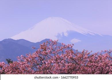 Fuji-like pink sakura with white Mt.Fuji