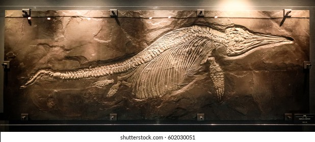 Fukui, Japan - February 22 2016, Ichthyosaur fossil, large marine dolphin like reptile in Mesozoic era at Fukui Prefectural Dinosaur Museum