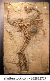 Fukui, Japan - February 22 2016, fossil of Caudipteryx the dinosaur fossil that showed evidence of having feathers, that is transitional between dinosaurs and modern birds