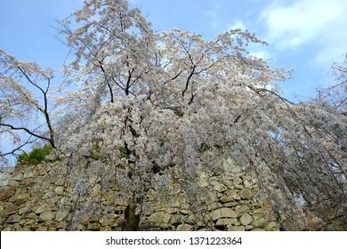 Fukuoka, Fukuoka/Japan Mar 29, 2019 Cherry Blossom Sakura at Fukuoka Castle