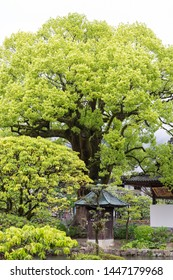 Fukuoka, Japan - April 30, 2019 : green garden park with big tree at Dazaifu Tenmangu Shrine.