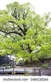Fukuoka, Japan - April 30, 2019 : the big tree at Dazaifu Tenmangu Shrine.