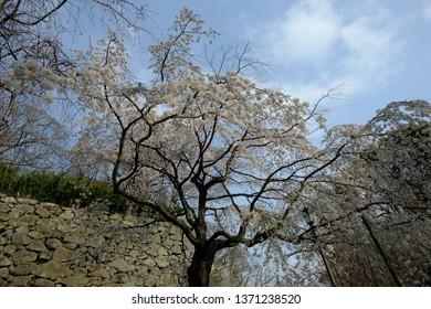 Fukuoka, Fukuoka / Japan - March 29, 2019: Cherry Blossom Tree at Fukuoka Castle