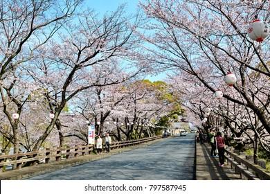 Fukuoka - March 29,2015 : Full bloom of Cherry blossom along the way to Fukuoka castle,  Fukuoka Japan.