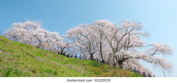 FUKUSHIMA, JAPAN - APRIL 17, 2015: People at The Miharu Takizakura is considered by many as the single most beautiful cherry tree in Japan