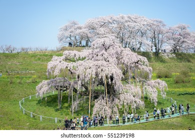 Fukushima ,JAPAN - APRIL 17 :View of Cherry blossom tree MiharuTakizakura,its flowering season and hundreds of thousands visit to admire its cherry blossoms in 17 April 2015