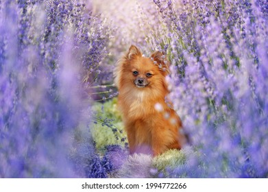 Ful llength picture of a pomeraning sitting in the lavender garden